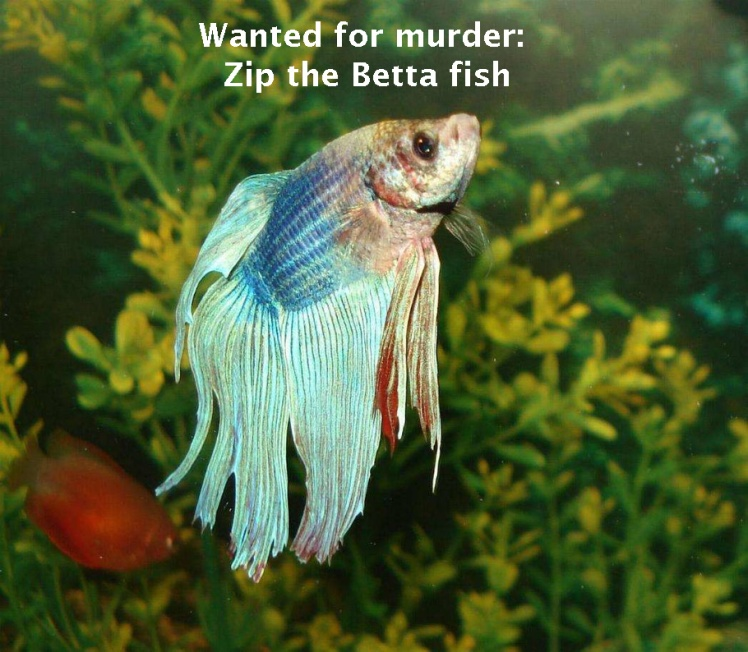 zip-the-betta-fish