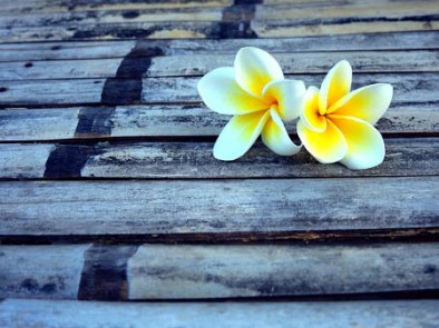 73608070 - two plumeria flower.